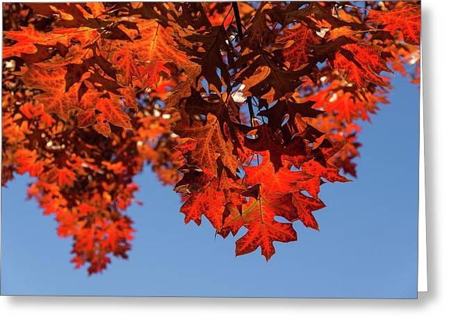 More Than Fifty Shades Of Red - Glossy Leathery Oak Leaves In The Sunshine - Downward Greeting Card