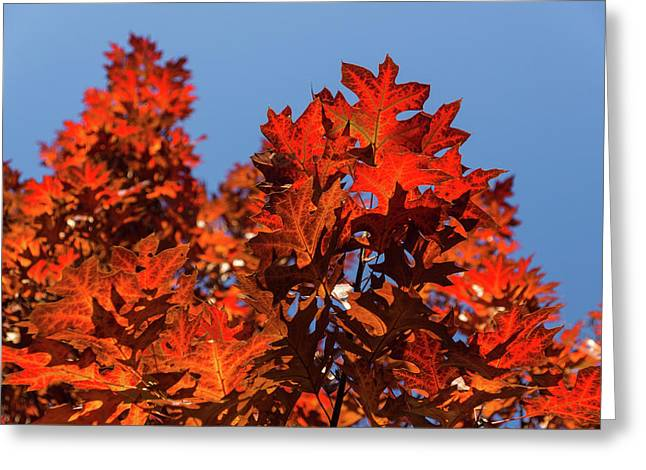 More Than Fifty Shades Of Red - Glossy Leathery Oak Leaves In The Sunshine - Upward Greeting Card