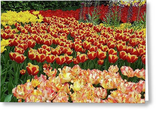 More #tulip Goodness From #keukenhof Greeting Card by Dante Harker