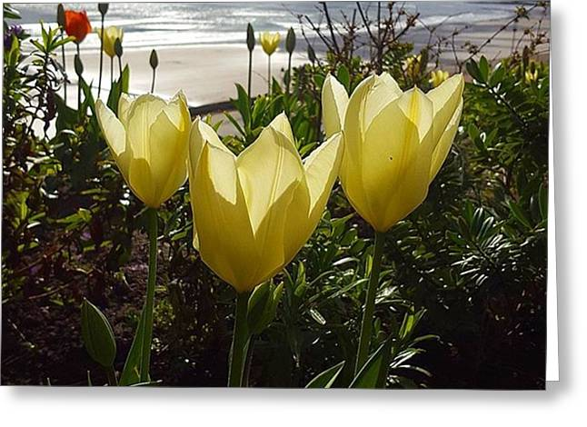 More Tulips At The #seaside Greeting Card by Dante Harker