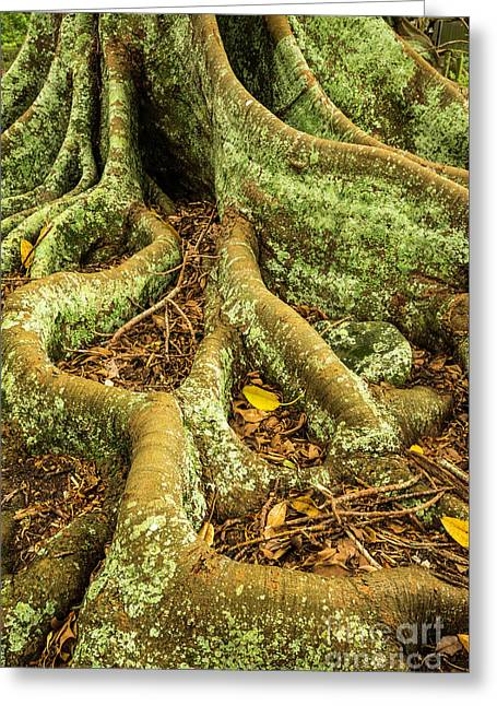 Greeting Card featuring the photograph Moreton Bay Fig by Werner Padarin