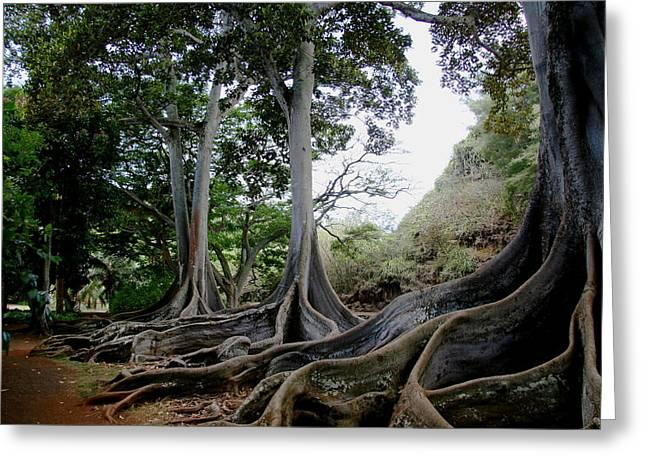Moreton Bay Figs Greeting Card by Michael Palmer