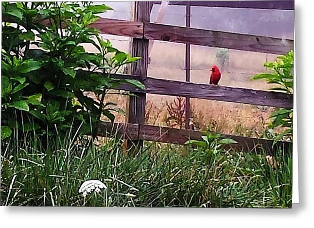Morning Cardinal Greeting Card