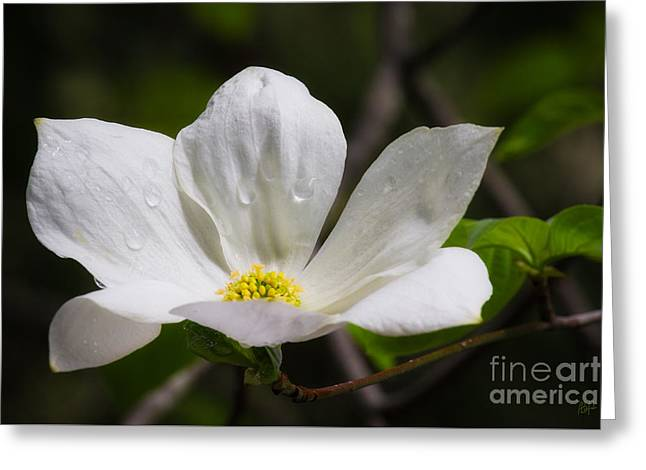 Morning Dogwood Greeting Card by Anthony Bonafede