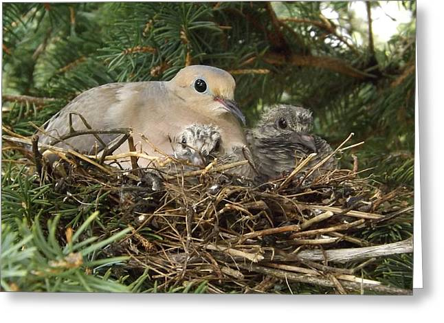Morning Dove And Two Babys #2 Greeting Card
