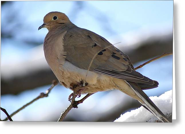 Morning Dove Greeting Card by Patricia M Shanahan