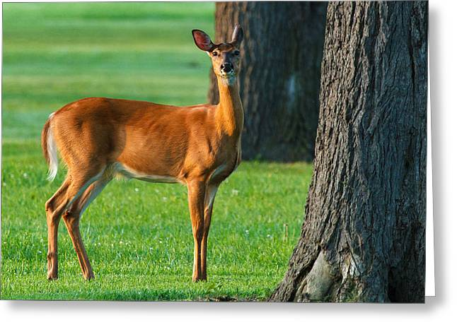 Morning Encounter Greeting Card by James Marvin Phelps