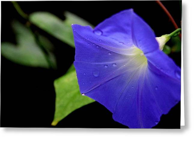 Morning Glories 2 Greeting Card