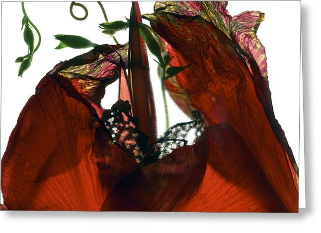 Morning Glory Canna Red Greeting Card by Julia McLemore
