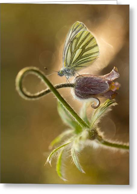 Morning Impression With Pasque Flower And Small Butterfly Greeting Card by Jaroslaw Blaminsky