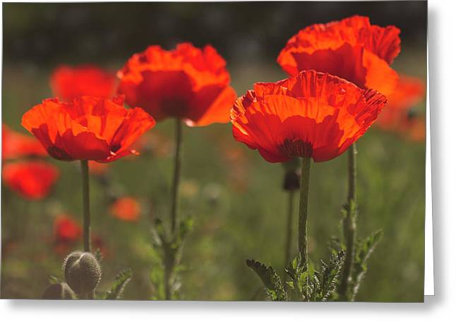 Morning Light In The Poppies Greeting Card