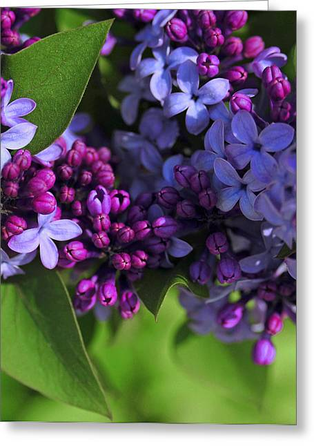 Morning Lilacs Greeting Card by The Forests Edge Photography - Diane Sandoval