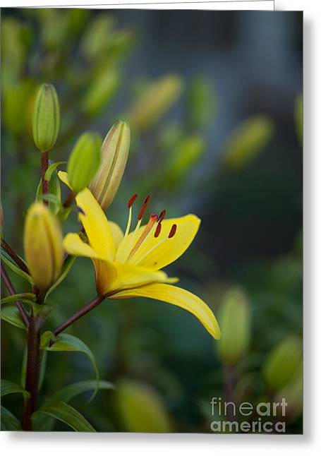 Morning Lily Greeting Card by Mike Reid