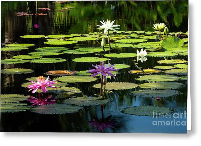Morning Lily Pads Greeting Card
