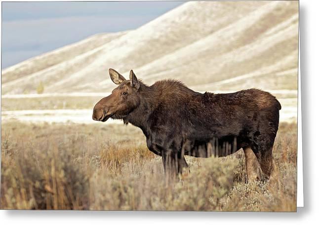 Morning Moose Greeting Card