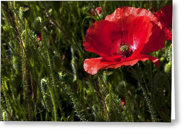 Morning Poppy Greeting Card by Svetlana Sewell