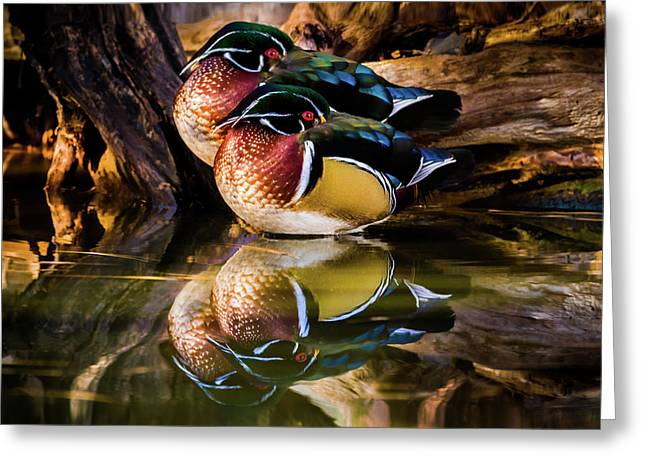 Morning Reflections - Wood Ducks Greeting Card by TL Mair