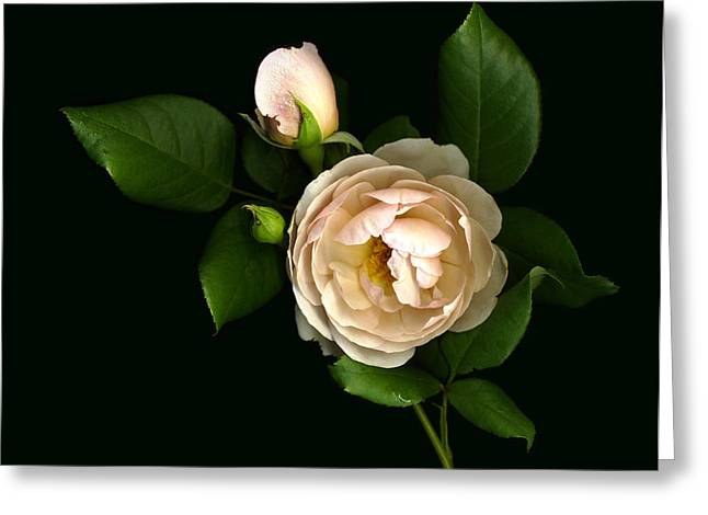 Morning Rose Buds Greeting Card