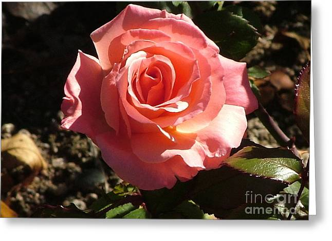 Morning Rose Greeting Card by Nick Gustafson