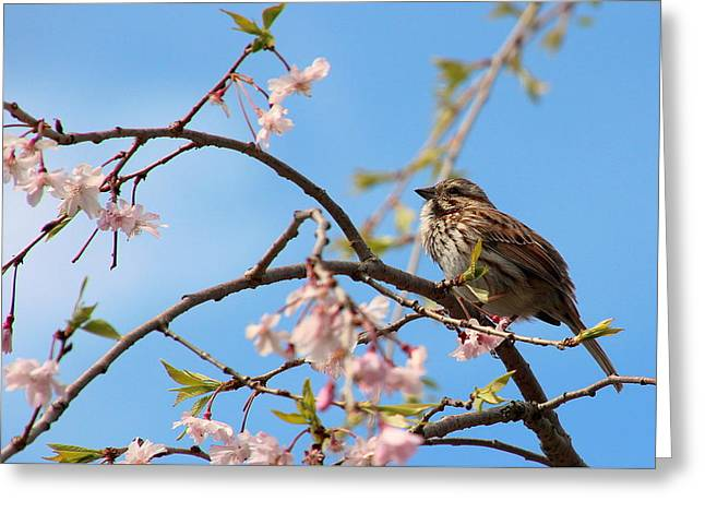 Morning Song Sparrow Greeting Card