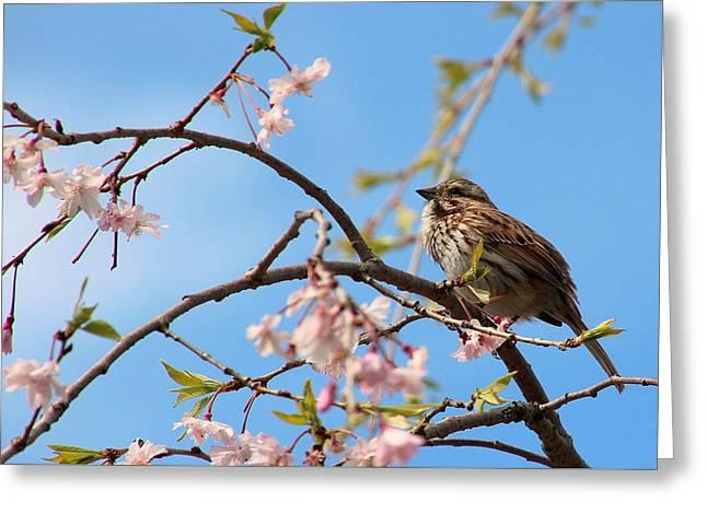 Morning Song Sparrow Greeting Card by Rosanne Jordan