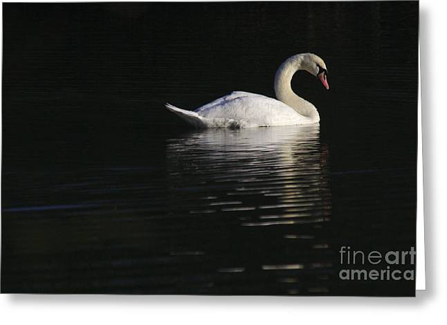 Morning Swan Greeting Card