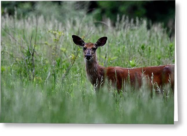 Morninng Deer Greeting Card