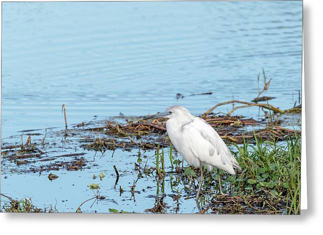 Morphed White Little Blue Heron  Greeting Card