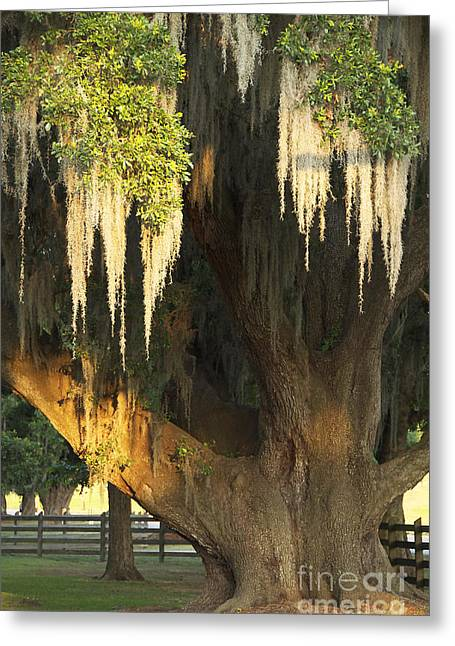 Moss Tree Greeting Card