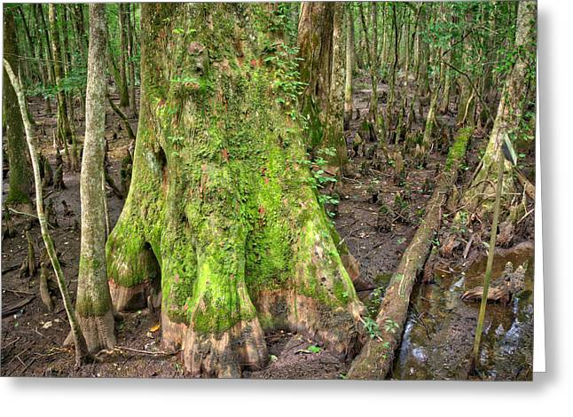 Greeting Card featuring the photograph Mossy Cypress by Michael Colgate