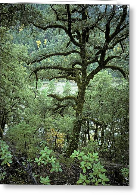 Mossy Tree On The River Greeting Card by Charlie Osborn