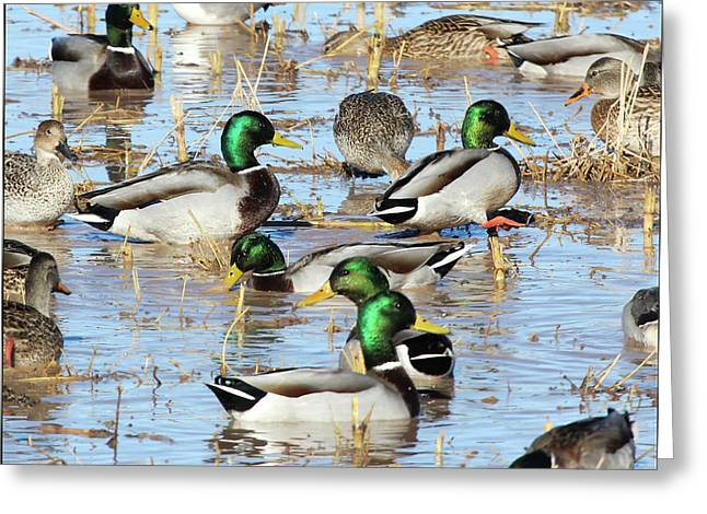 Mostly Mallards Greeting Card