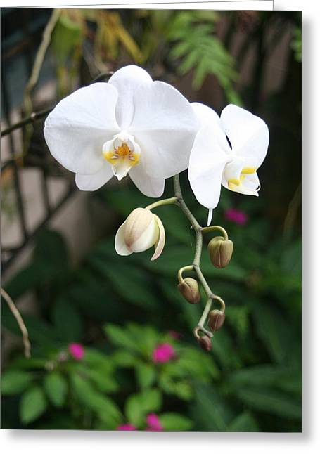 Greeting Card featuring the photograph Moth Orchids by The Art of Alice Terrill