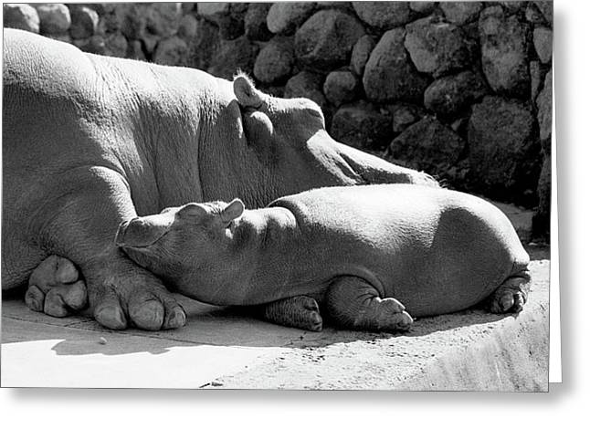 Mother And Baby Hippos Greeting Card