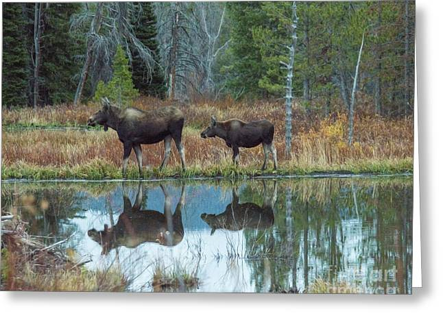 Mother And Baby Moose Reflection Greeting Card by Rebecca Margraf