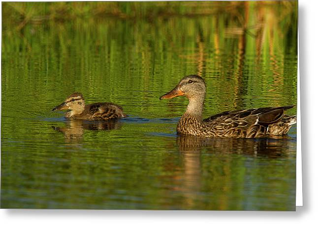 Greeting Card featuring the photograph Mother And Child Mallards by Jean Noren