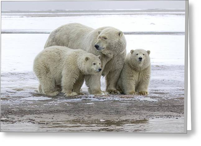 Mother And Cubs In The Arctic Greeting Card
