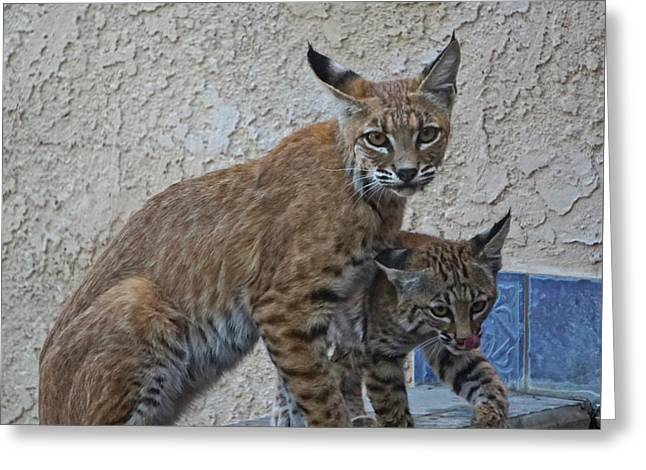 Mother Bobcat With Kit Greeting Card