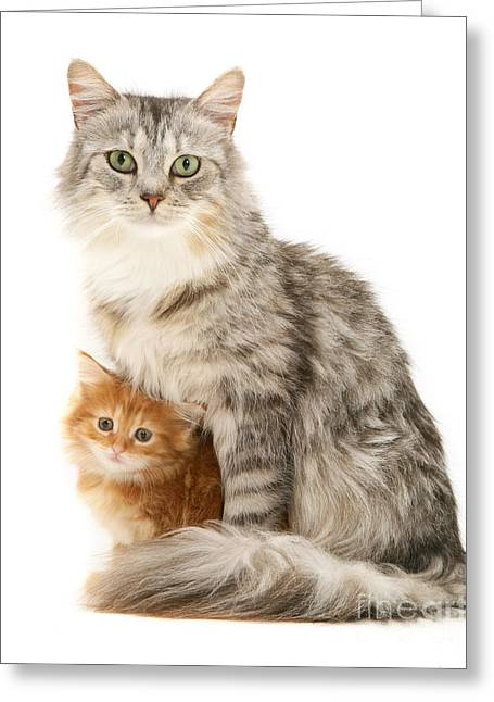 Mother Cat And Ginger Kitten Greeting Card