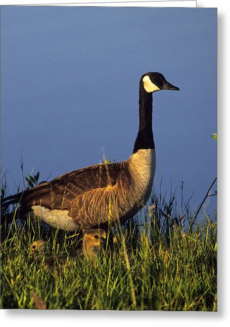 Mother Goose Greeting Card by Bruce Gilbert