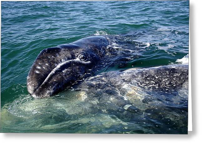 Mother Grey Whale And Baby Calf Greeting Card