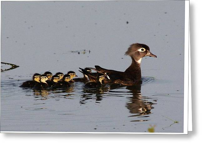Mother Wood Duck Greeting Card by John Adams