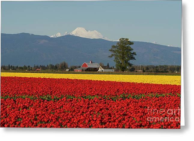Mount Baker Skagit Valley Tulip Festival Barn Greeting Card by Mike Reid