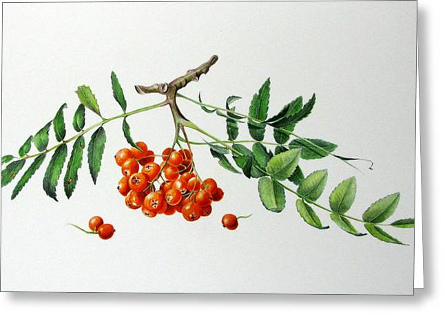 Mountain Ash With Berries  Greeting Card by Margit Sampogna