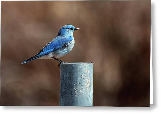 Mountain Bluebird Greeting Card by Eric Nielsen