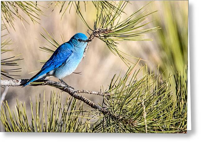 Mountain Bluebird In A Pine Greeting Card