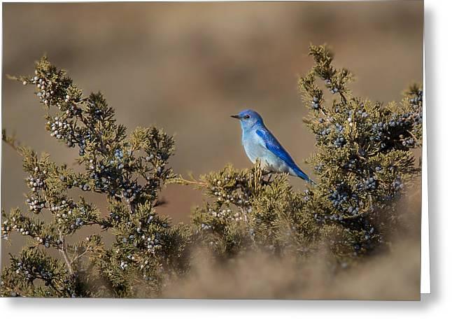 Mountain Bluebird // North Dakota Greeting Card