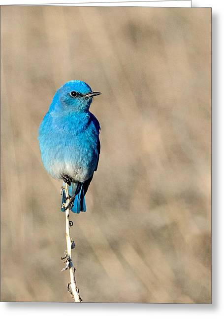 Mountain Bluebird On A Stem. Greeting Card
