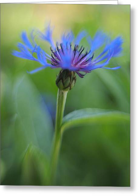 Mountain Bluet Flower Greeting Card