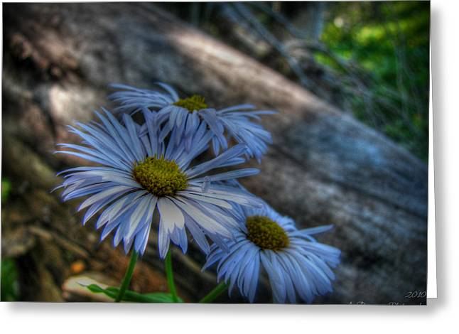 Mountain Daisies And A Downed Spruce Greeting Card